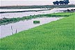 KEN83TX12_07 Bright green swathe of transplanted rice; flooded paddies divided by bunds behind. Mwea irrigation scheme, Kenya. Copyright Tropix (V. and M. Birley)