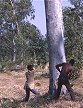 MLW95RUS13_12 Two men felling a large eucalyptus tree with axes taking alternate strokes; teamwork; plantation forest. Malawi. Copyright Tropix (Russ Clare)